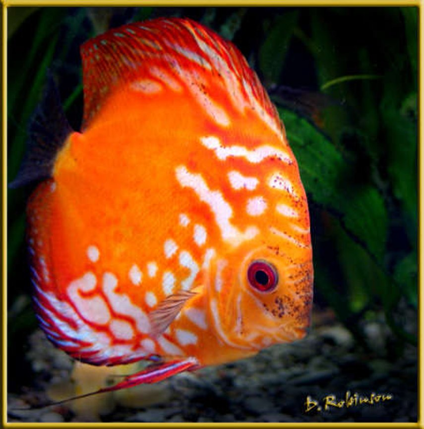 freshwater fish - symphysodon sp. - red marlboro discus stocking in 180 gallons tank - Adult Marlboro Red Discus