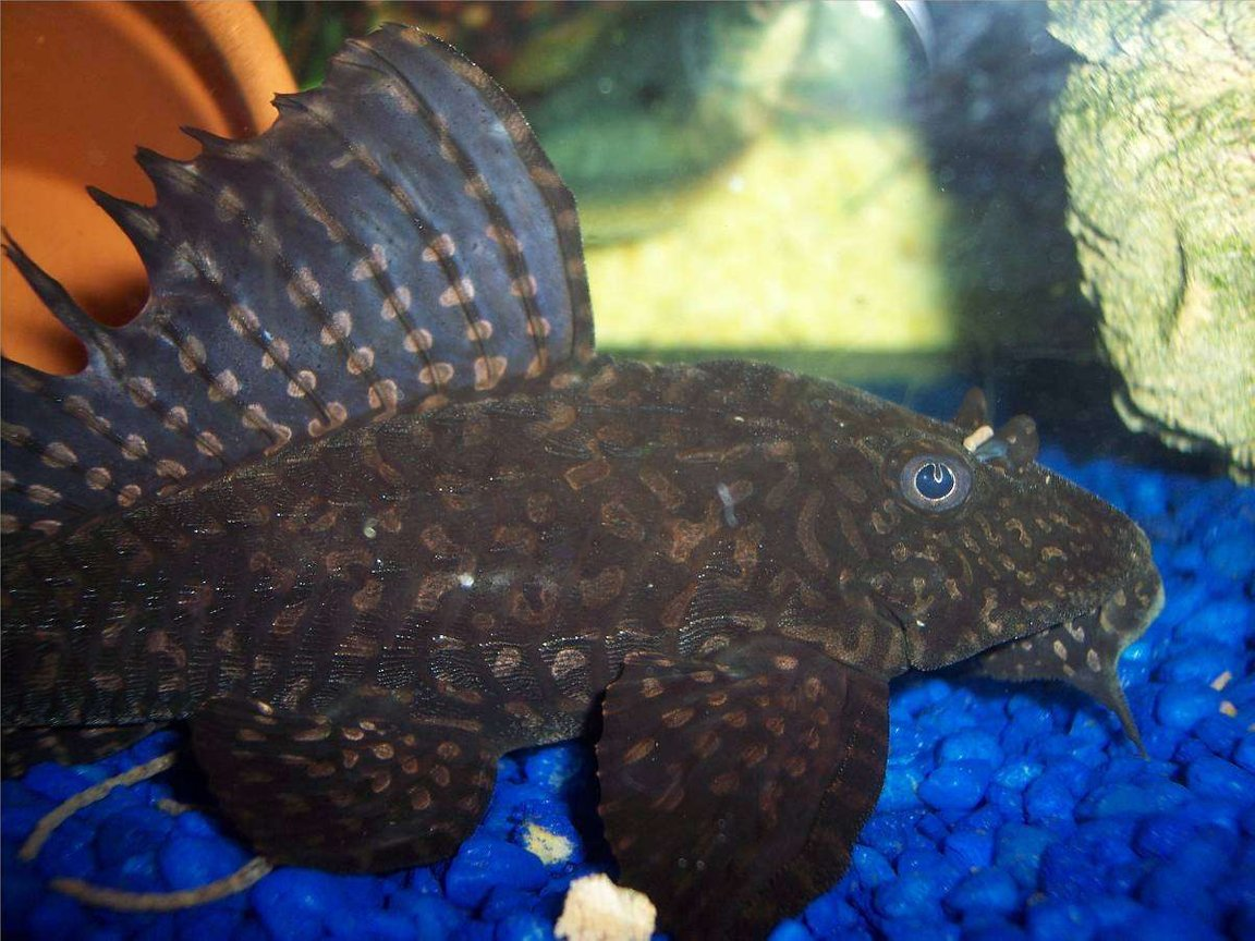 freshwater fish - pseudoacanthicus spinosus - chocolate chip spiny pleco (l-160) stocking in 72 gallons tank - Cujo eating