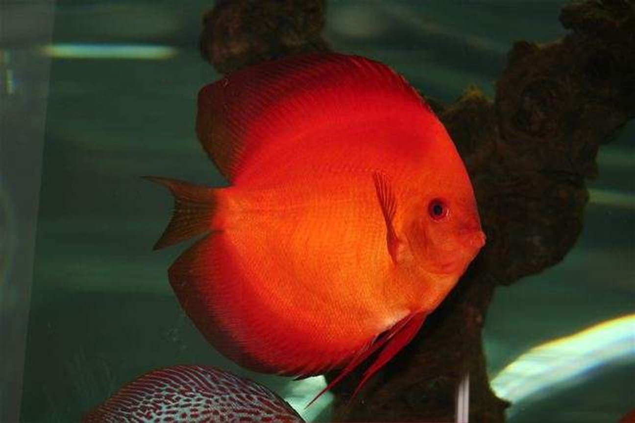freshwater fish - symphysodon sp. - red marlboro discus stocking in 75 gallons tank - Loud and Proud Male Discus!