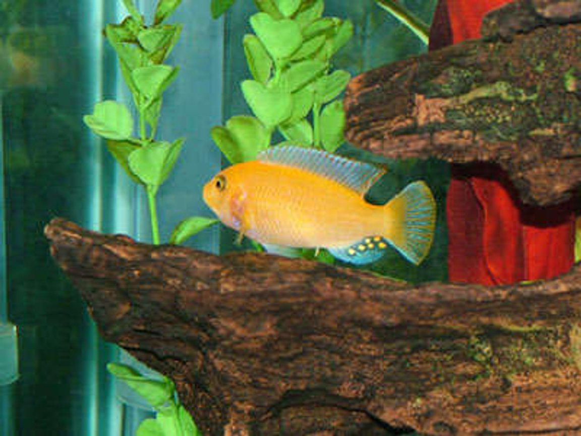 freshwater fish - pseudotropheus estherae - red zebra cichlid stocking in 55 gallons tank - My name is Crush and im a Red Zebra Cichlid. I may be small but I pack a mean punch and the rest of the dummies in my school pretty much leave me alone.