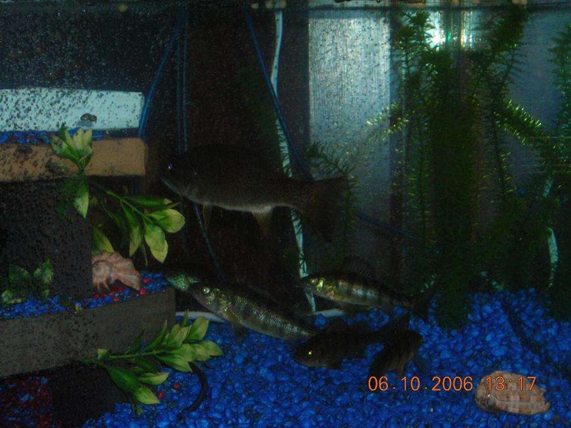freshwater fish - micropterus dolomieu - smallmouth bass stocking in 75 gallons tank - Small Mouth Bass and Perch