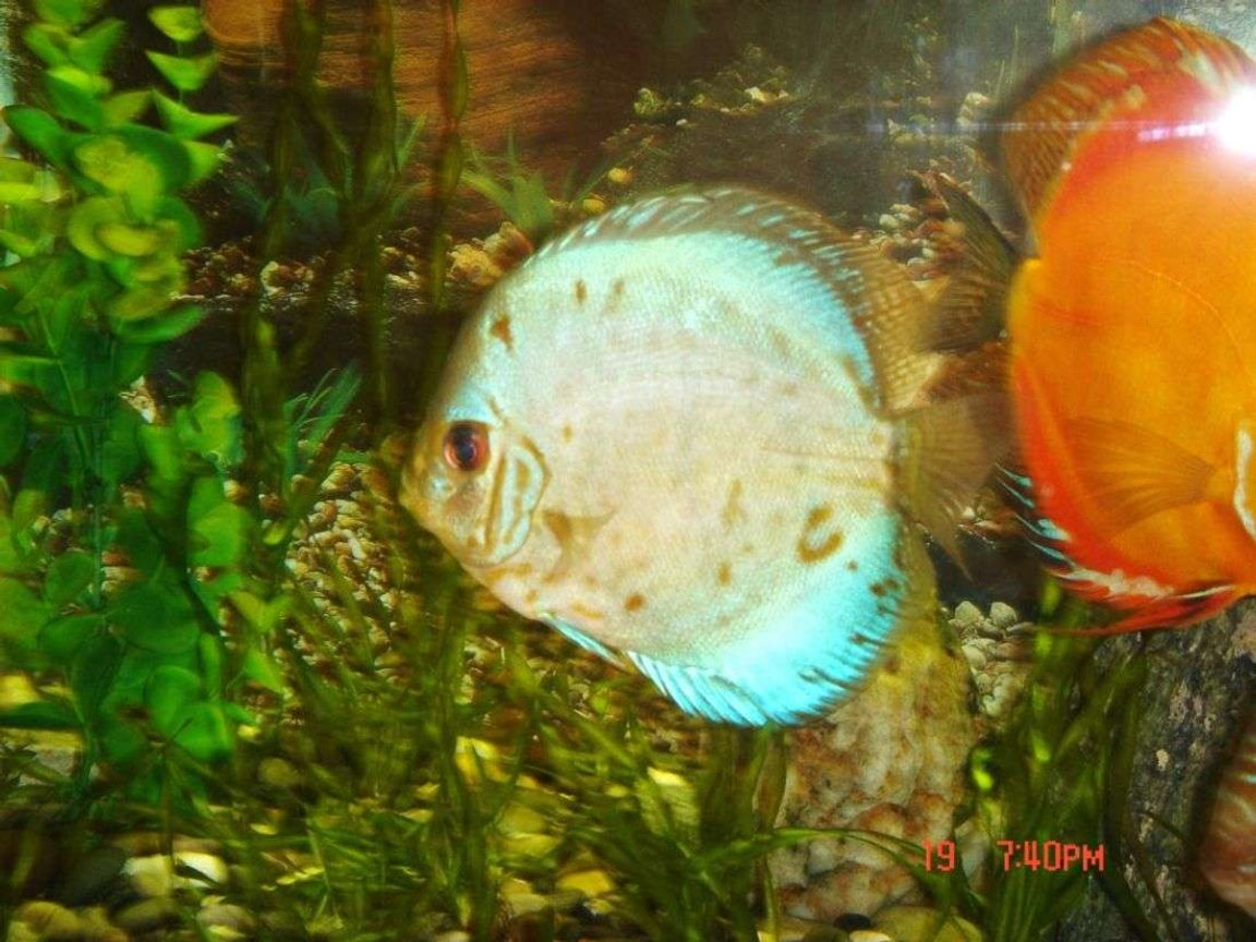 freshwater fish - symphysodon sp. - blue diamond discus stocking in 50 gallons tank - my blue diamond discus