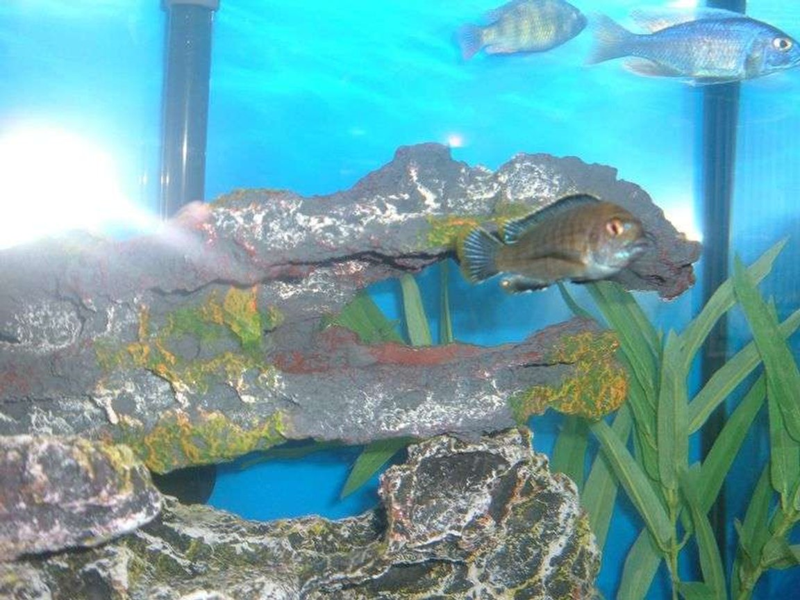 freshwater fish stocking in 55 gallons tank - Ron's fish