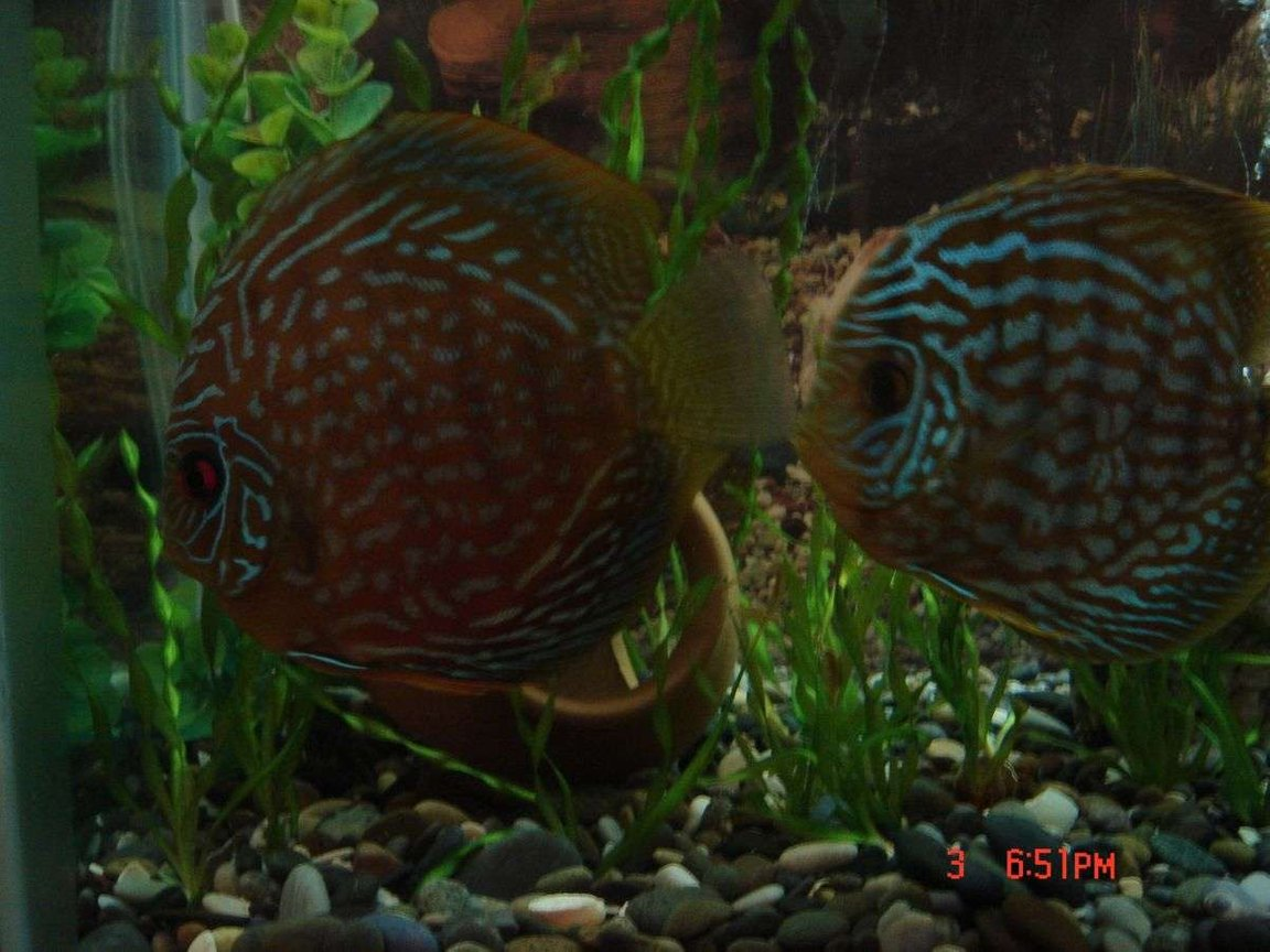 freshwater fish - symphysodon spp. - pigeon blood discus stocking in 50 gallons tank - discus pair searching for food