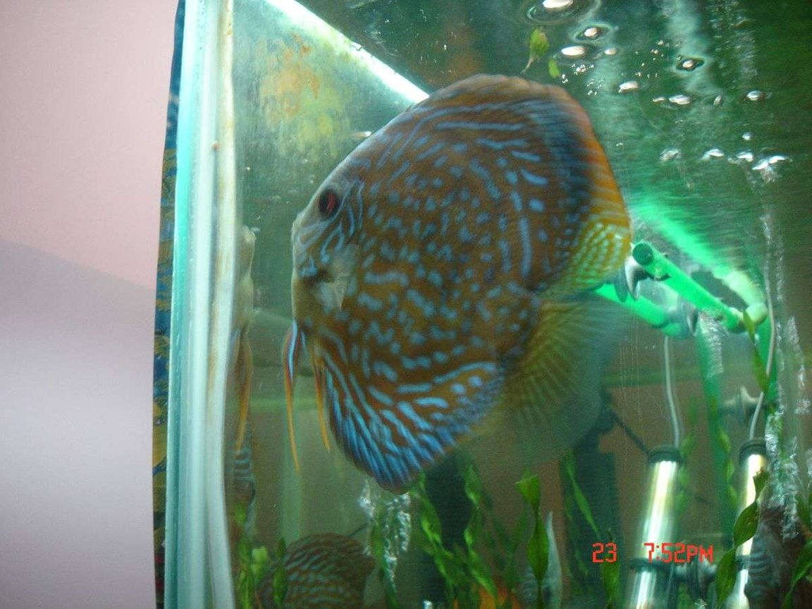 freshwater fish - symphysodon spp. - pigeon blood discus stocking in 50 gallons tank - female discus laying her eggs