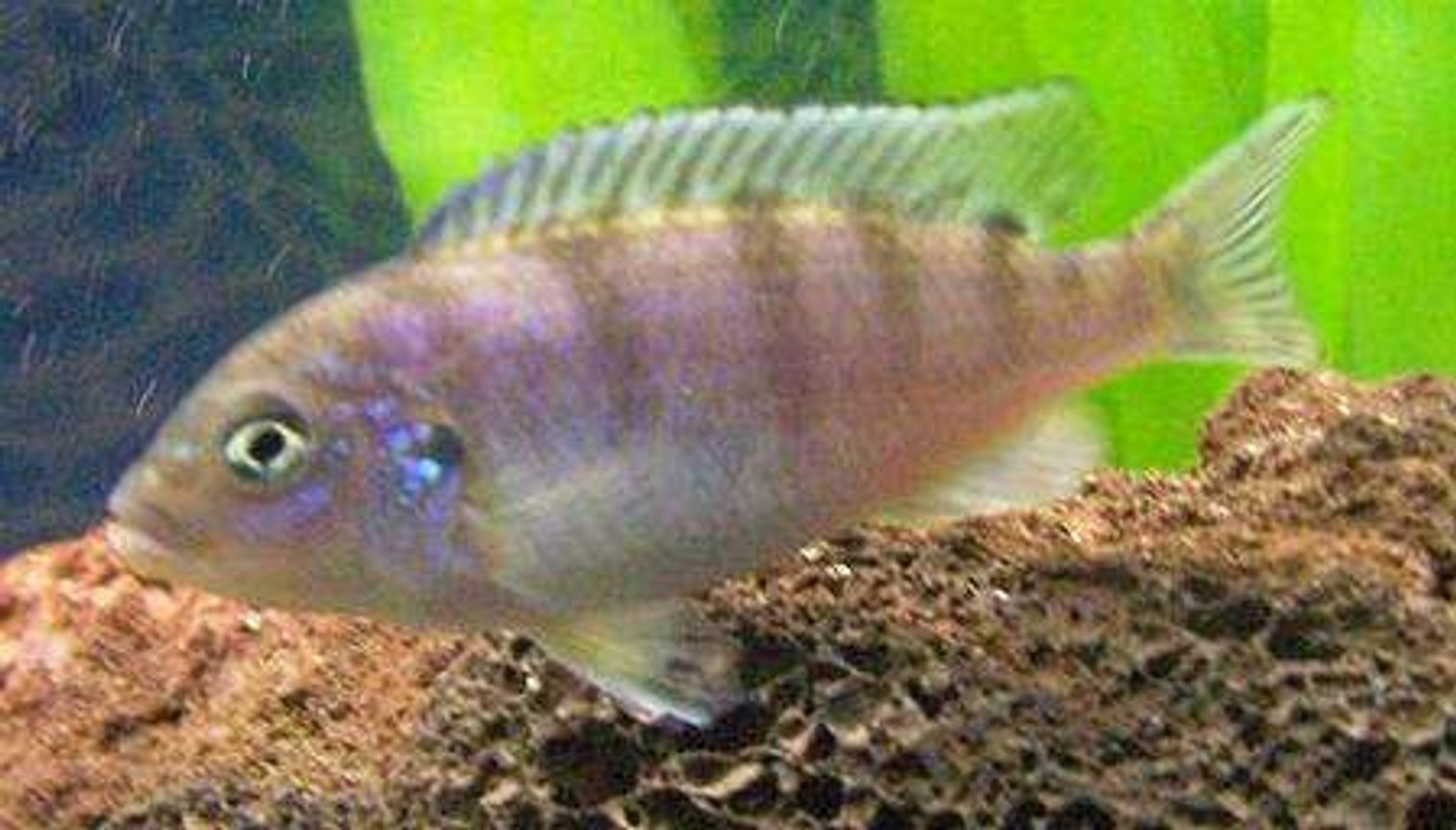 freshwater fish - metriaclima lombardoi - kenyi cichlid stocking in 47 gallons tank - Female Kenyi Cichlid. She is the Queen of the tank.