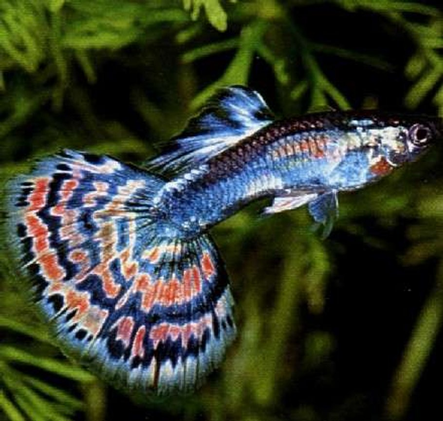 freshwater fish - poecilia reticulata - blue cobra guppy stocking in 75 gallons tank - 1 of my guppies in a 10,000 gallon