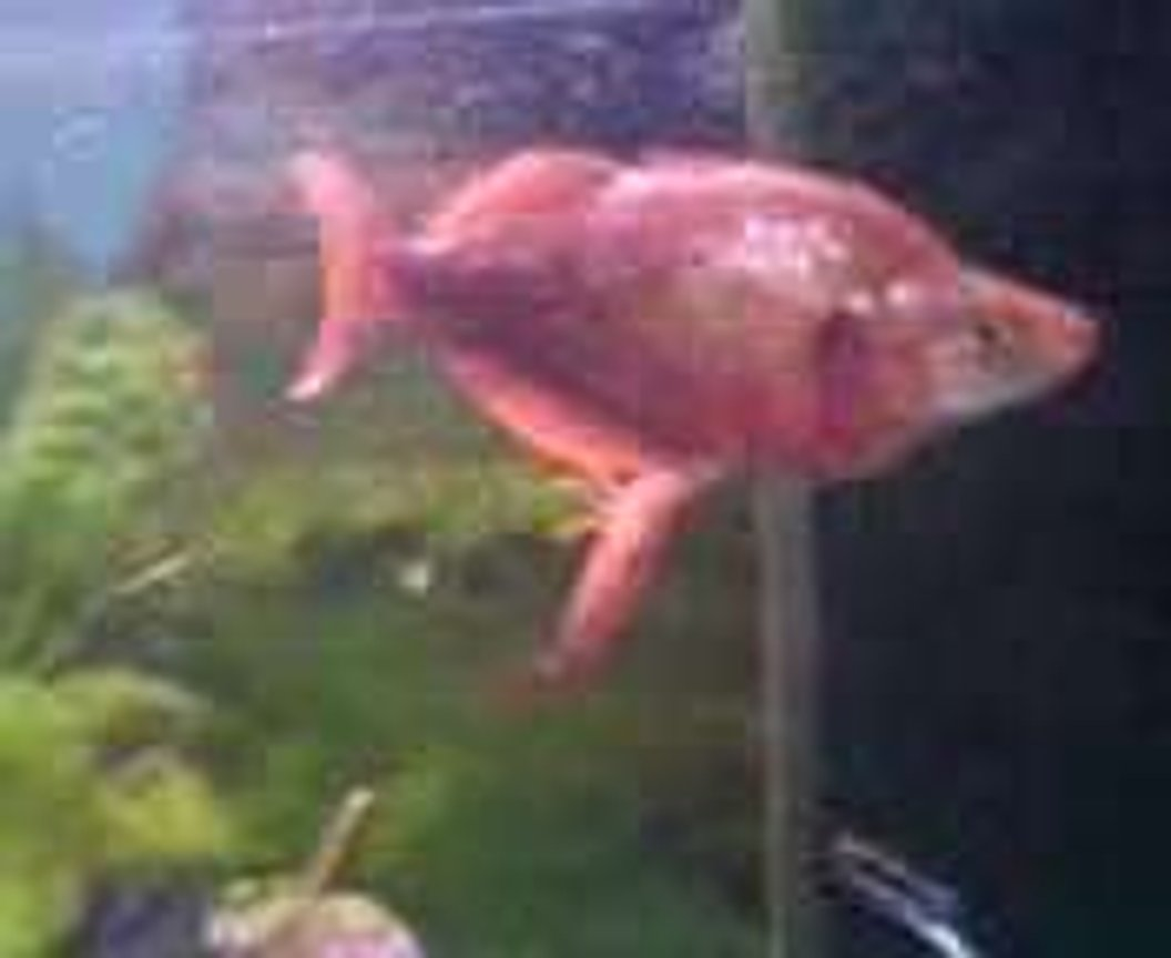 freshwater fish - glossolepis incisis - red irian rainbow stocking in 47 gallons tank - I have no clue what kind of fish this is but hes name is gary...lol, a man told me there alot of money to buy.. i paid i think £3-5 for him