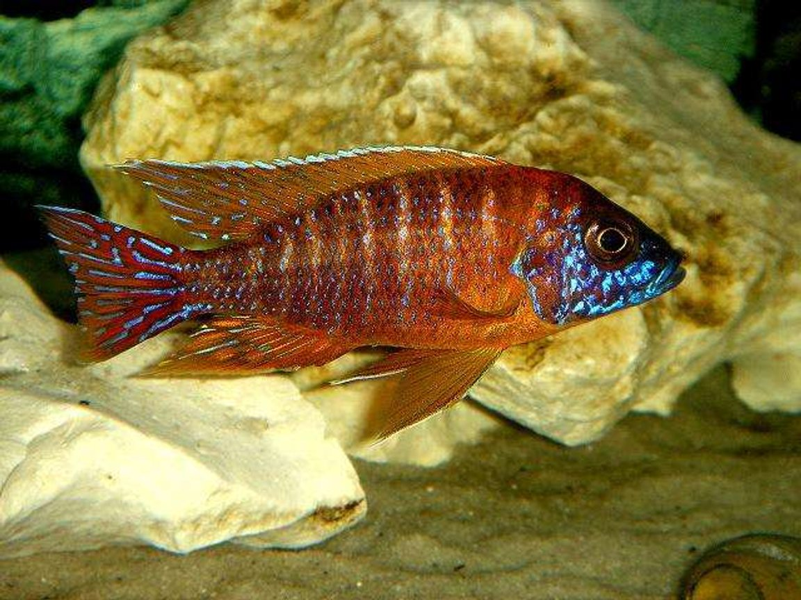 freshwater fish - aulonocara rubescens - ruby red peacock stocking in 20 gallons tank - Ruby Red , he's Hott!!!
