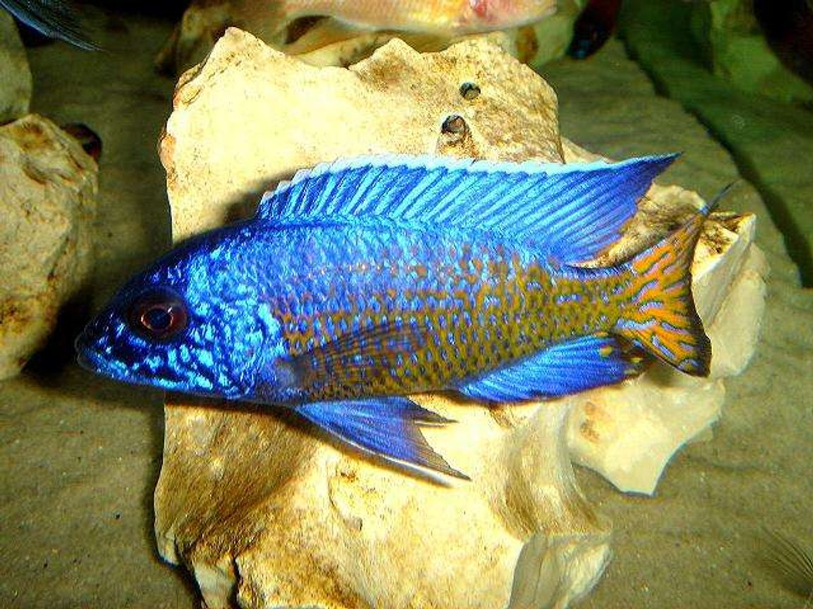 freshwater fish - aulonocara stuartgranti - ngara flametail stocking in 20 gallons tank - Ngara Flametail