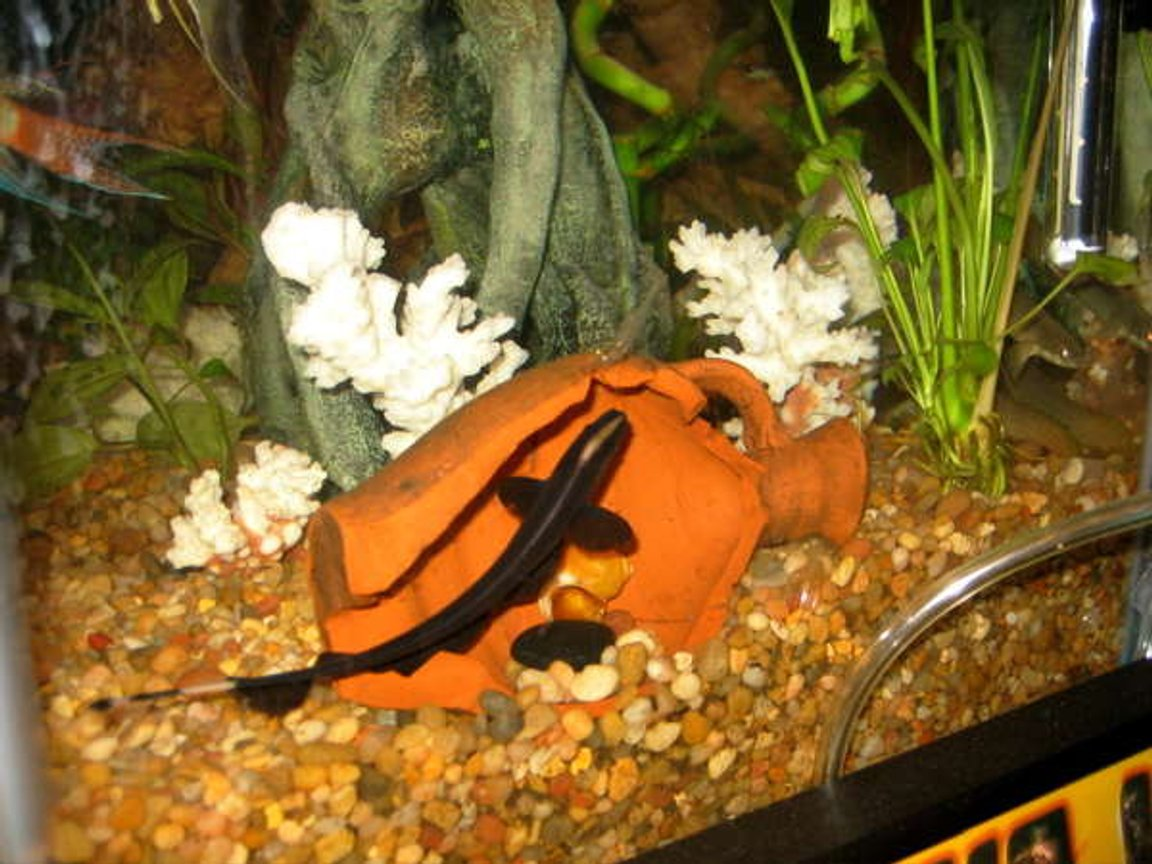 freshwater fish - apteronotus albifrons - black ghost knifefish stocking in 55 gallons tank - GK 2