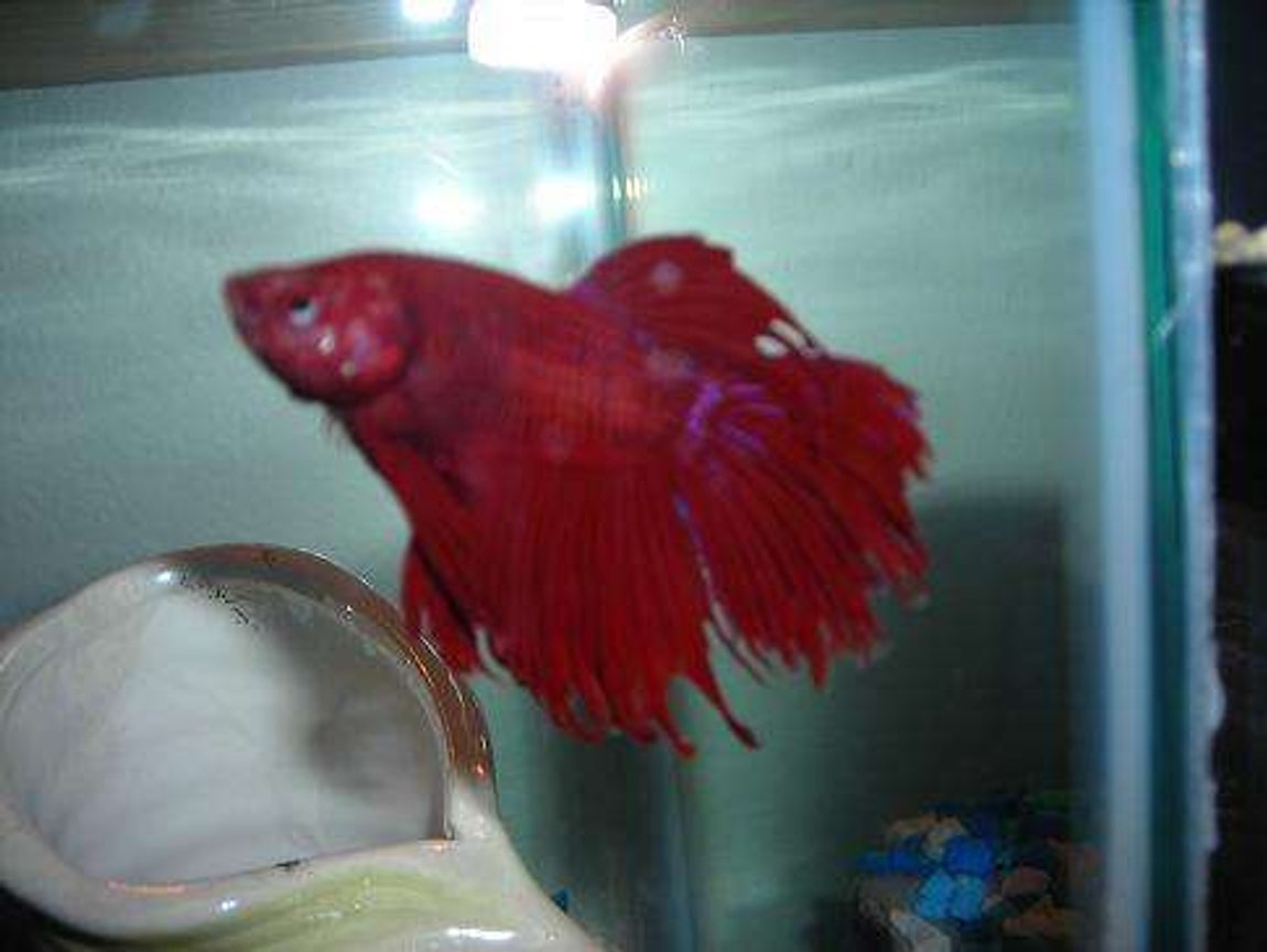 freshwater fish - betta splendens - crown tail betta stocking in 10 gallons tank - Hes red but you can see his blue streaks really well in this picture! His eye is blue but it looks red in this picture.