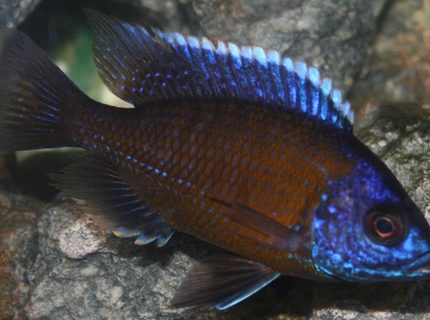 freshwater fish - copadichromis borleyi - borleyi cichlid stocking in 29 gallons tank - Don't really know the name of many of my fish I would appriciate help