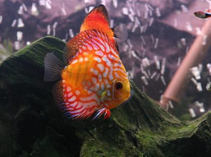 Most beautiful discus ever
