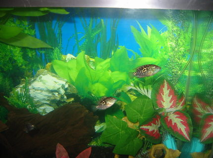 freshwater fish - thorichthys meeki - firemouth cichlid stocking in 30 gallons tank - brothers