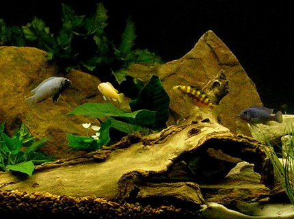 freshwater fish - pseudotropheus crabro - bumblebee cichlid stocking in 29 gallons tank - African cichlids