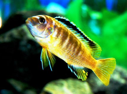 freshwater fish - pseudotropheus crabro - bumblebee cichlid stocking in 20 gallons tank - my cichlid of unknown name? some one please help mme out. NOT A YELLOW LAB