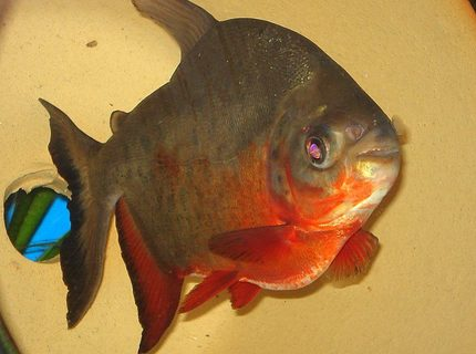 "freshwater fish - piaractus brachypomum - red belly pacu stocking in 75 gallons tank - Pacu is now 7-8"" long and loves to eat unsalted peanuts..."