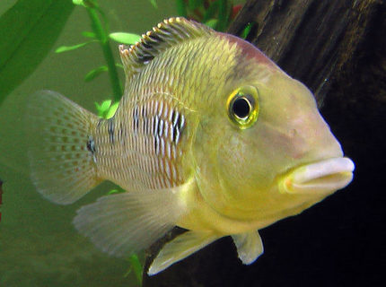 "Rated #9: Freshwater Fish - Geophagus Steindachneri - Redhump Eartheater Stocking In 26 Gallons Tank - ""Geo"" the Redhump Eartheater mugging for the camera.  He greets people with great enthusiasm and spends the day moving pebbles around with his mouth."