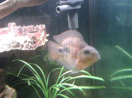 freshwater fish - heros severus x amphilophus citrinellum - blood parrot stocking in 65 gallons tank - Young Blood Parot.