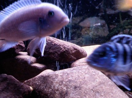 freshwater fish - pseudotropheus socolofi (albino) - albino socolofi stocking in 30 gallons tank - powder blue lab.