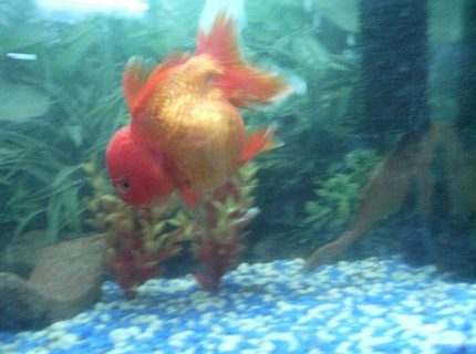 freshwater fish - carassius auratus - oranda goldfish stocking in 6 gallons tank - goldfish