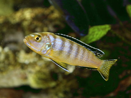 Rated #8: Freshwater Fish - Labeotropheus Fuelleborni - Fuelleborni Cichlid, Marmalade Stocking In 80 Gallons Tank