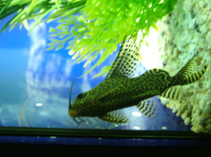 freshwater fish - synodontis eupterus - featherfin catfish stocking in 180 gallons tank - this is my butterfly catfish well i think it is if you no plezz tell me