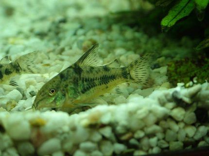 freshwater fish - corydoras paleatus - peppered cory cat stocking in 180 gallons tank - this is my pepermint cory