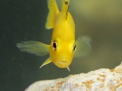 freshwater fish - labidochromis caeruleus - electric yellow cichlid stocking in 55 gallons tank - African Cichlid