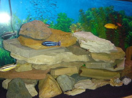 freshwater fish - melanochromis cyaneorhabdos - maingano cichlid stocking in 75 gallons tank - The main rock tower and some fish.