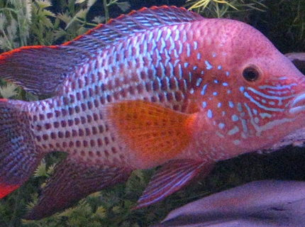 freshwater fish - aequidens rivulatus - green terror stocking in 90 gallons tank - King of the Jungle 7""