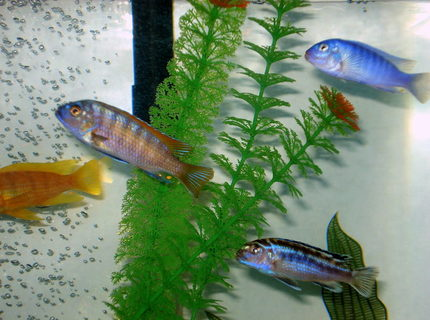 freshwater fish - labeotropheus fuelleborni - fuelleborni cichlid, marmalade stocking in 46 gallons tank - very aggressive breed of fish