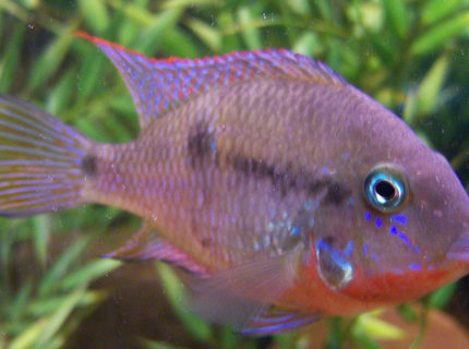 freshwater fish - thorichthys meeki - firemouth cichlid stocking in 150 gallons tank - 4 inch Firemouth