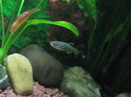 freshwater fish - danio rerio - zebra danio stocking in 5 gallons tank - the very active Zebra Danio... Took me few shots before this photo...