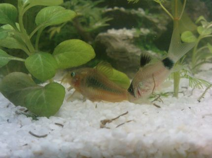 freshwater fish - corydoras panda - panda cory cat stocking in 10 gallons tank - ..