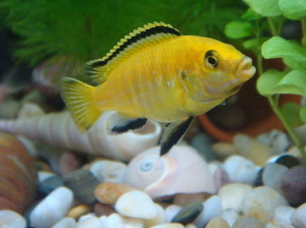 freshwater fish - labidochromis caeruleus - electric yellow cichlid stocking in 11 gallons tank - My first Electric Yellow Lab