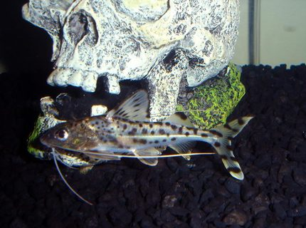 freshwater fish - synodontis eupterus - synodontis eupterus catfish stocking in 29 gallons tank - one of my catfish