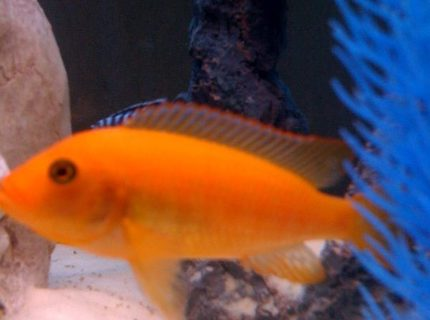 freshwater fish - pseudotropheus estherae - red zebra cichlid stocking in 55 gallons tank - african