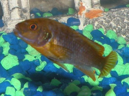 freshwater fish - iodotropheus sprengerae - rusty cichlid stocking in 46 gallons tank - My Rusty Cichlid