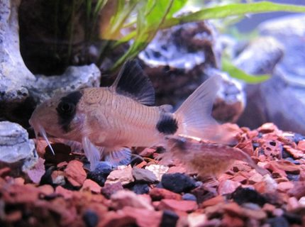 freshwater fish - corydoras panda - panda cory cat stocking in 16 gallons tank - Panda Cory and Red Cherry Shrimp Scurrying by.