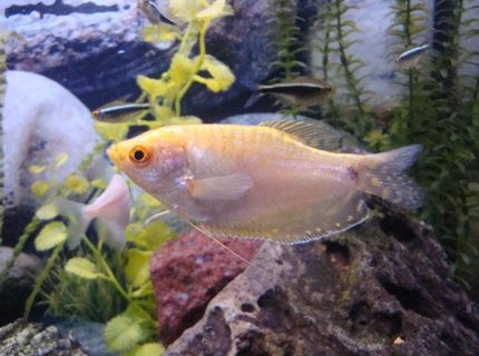 freshwater fish - trichogaster trichopterus - gold gourami stocking in 55 gallons tank - Gold Gouramis
