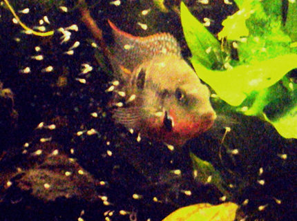 freshwater fish - thorichthys meeki - firemouth cichlid stocking in 35 gallons tank - father firemouth