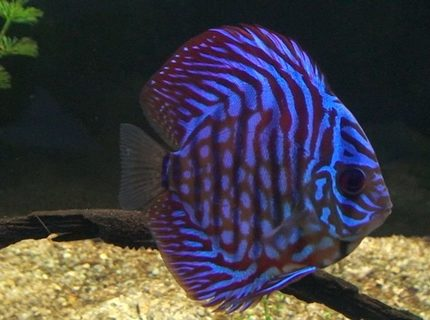 freshwater fish - symphysodon aequifasciata - royal blue discus stocking in 209 gallons tank