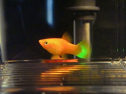 freshwater fish - xiphophorus maculatus - red platy stocking in 55 gallons tank - Red Platy