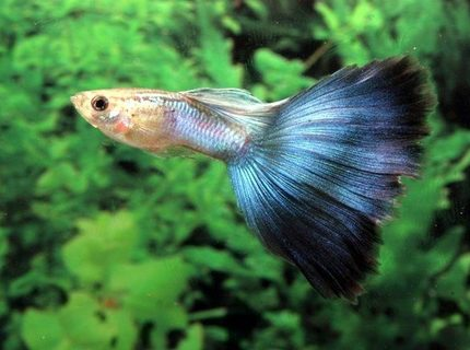 freshwater fish - poecilia reticulata - blue delta guppy stocking in 54 gallons tank - my guppy :-D