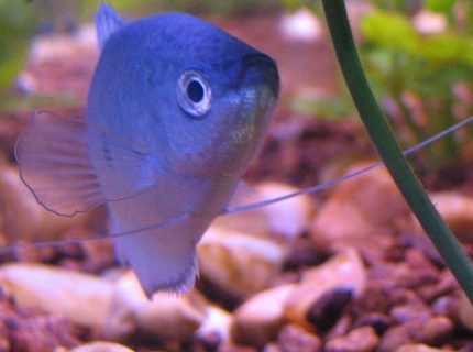 freshwater fish - trichogaster trichopterus - blue gourami stocking in 30 gallons tank - My gorumi!