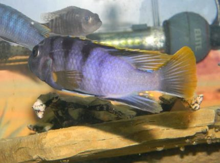 freshwater fish - iodotropheus sprengerae - rusty cichlid stocking in 55 gallons tank - One of my favorites. Love the purple and yellow.