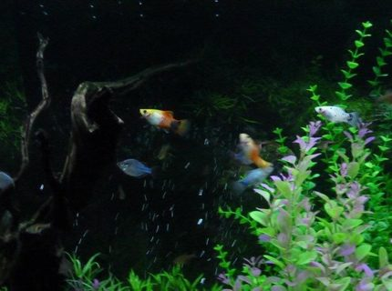 freshwater fish - xiphophorus maculatus - platy stocking in 90 gallons tank