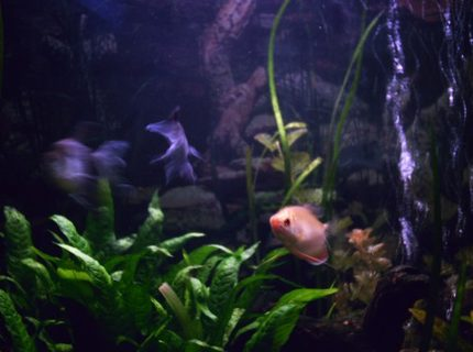 freshwater fish - colisa chuna - honey dwarf gourami stocking in 85 gallons tank - This Honey Gourami is not especially shy.